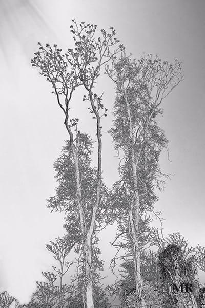 Charle's Tree